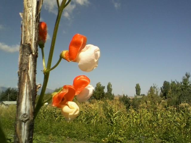 bicolored runner bean flowers