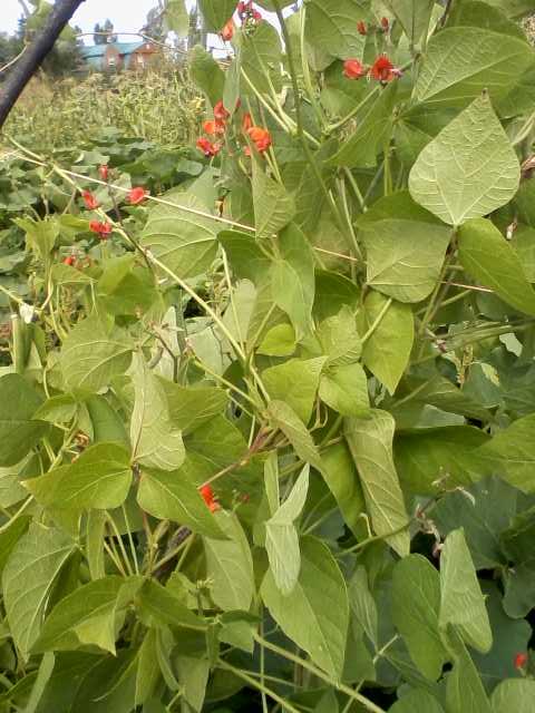 runner bean that didn't flower or fruit