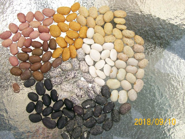 Colorful tepary beans