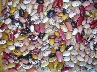 dry bean landrace