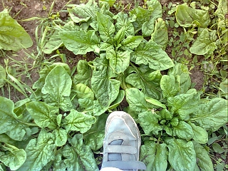 landrace spinach
