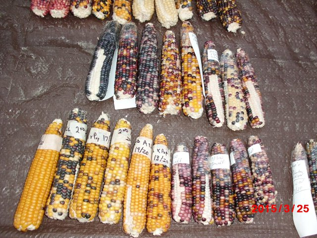 hybrid popcorn