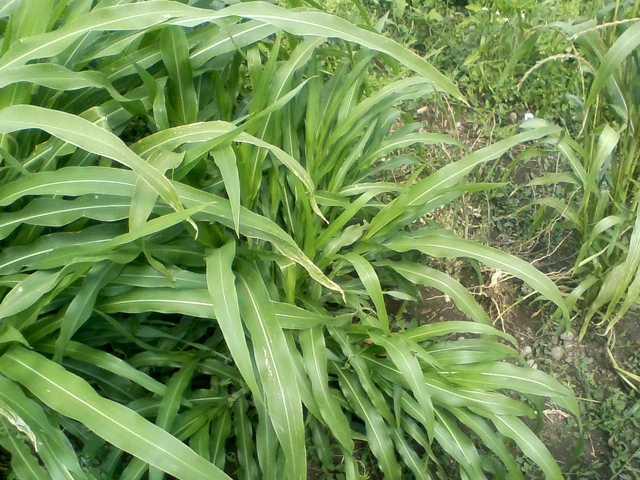 Zea diploperennis, PI 462368