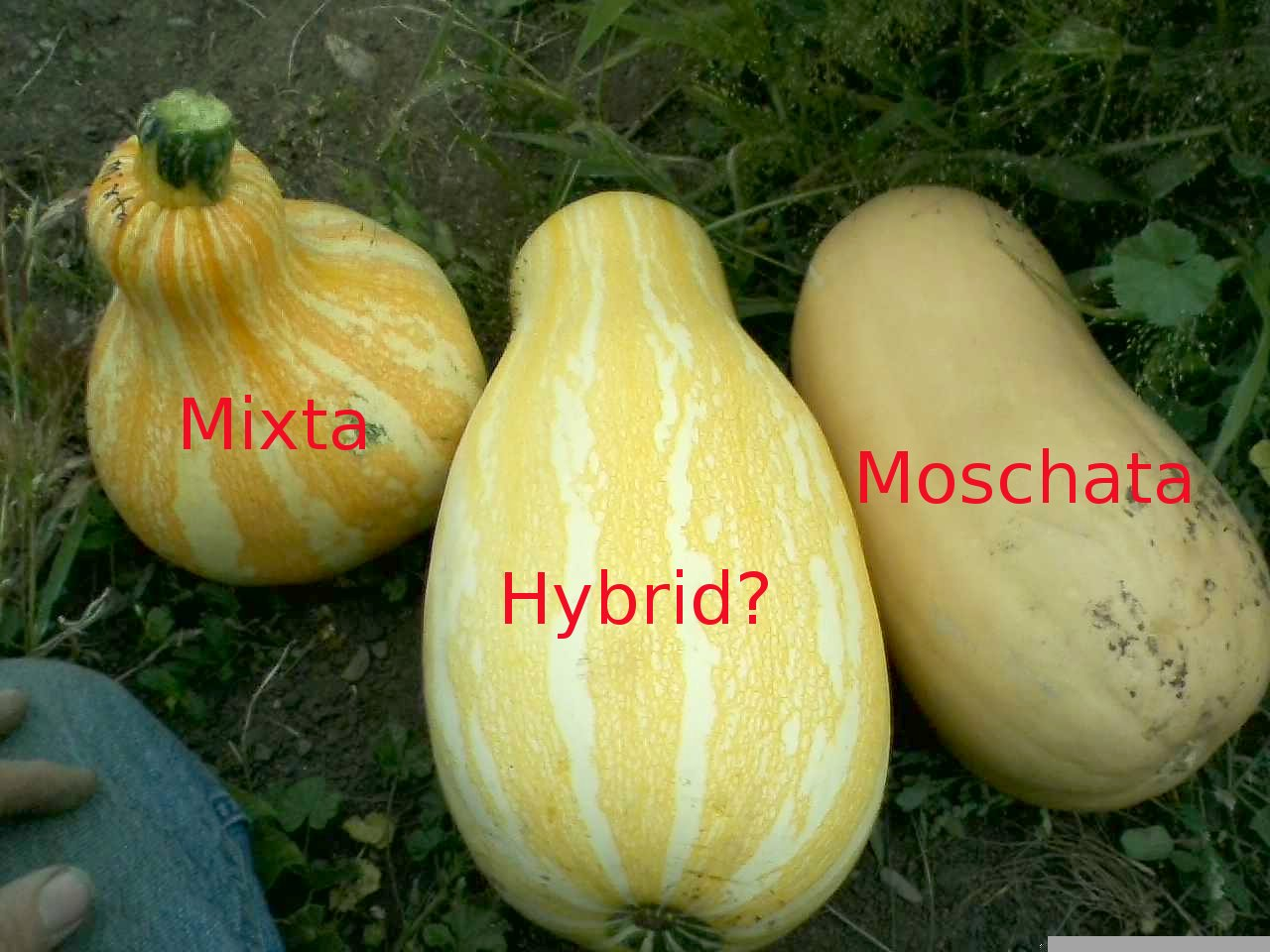 interspecies hybrid squash