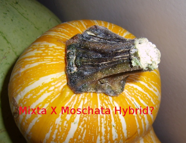 interspecies hybrid: mixta crossed with moschata