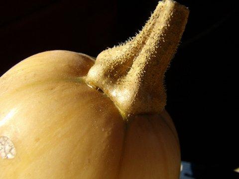 typical moschata squash stem