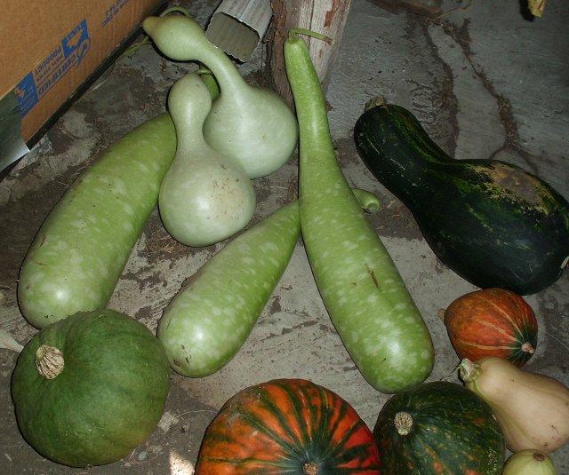 lagenaria squash