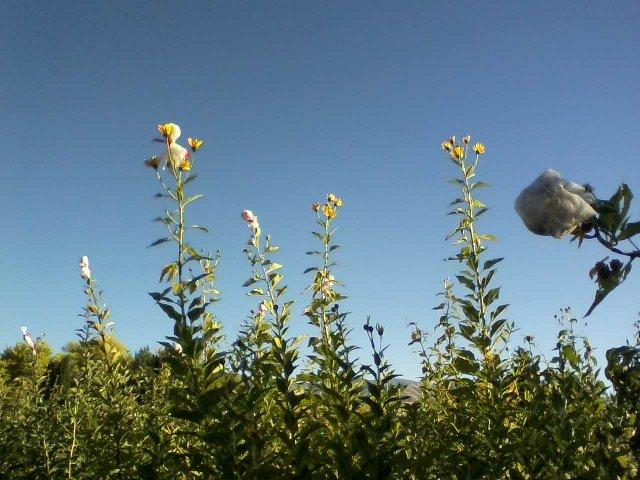 saving sunroot seeds from birds
