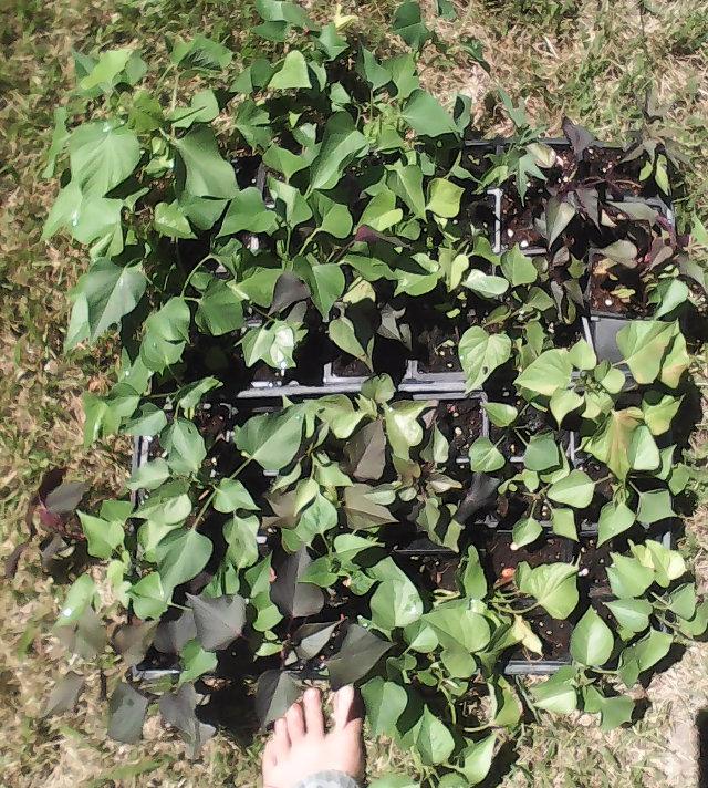 sweet potato seedlings