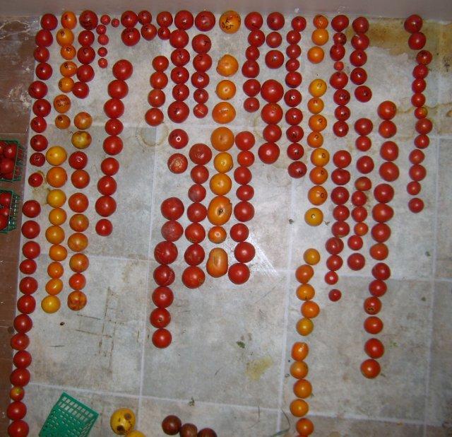 hybrid tomato clade