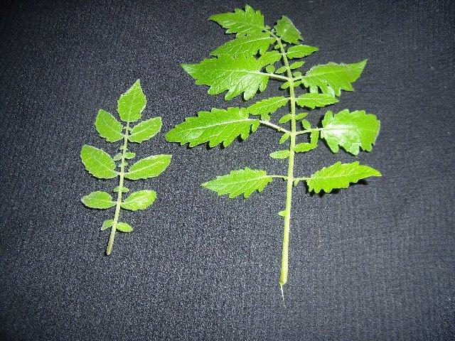 LA1777 leaf