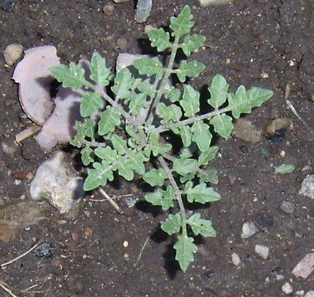 Solanum corneliomulleri