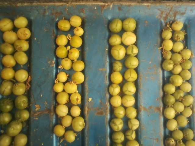 Solanum habrochaites