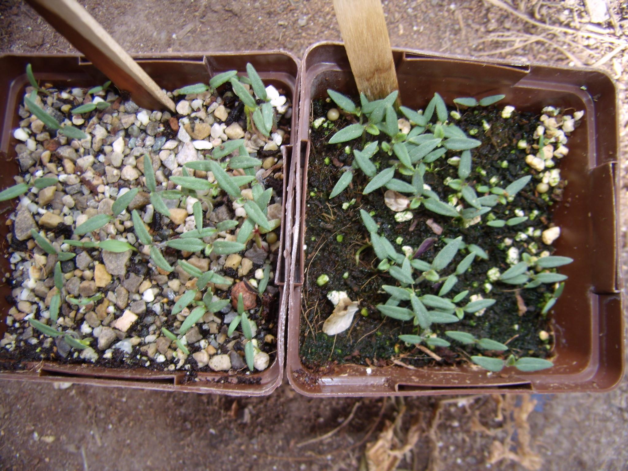 Solanum pennellii