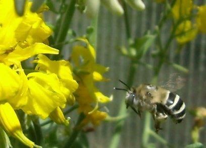 Solanum peruvianum and digger bee