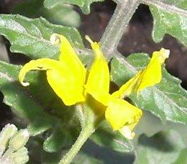 Solanum peruvianum flower