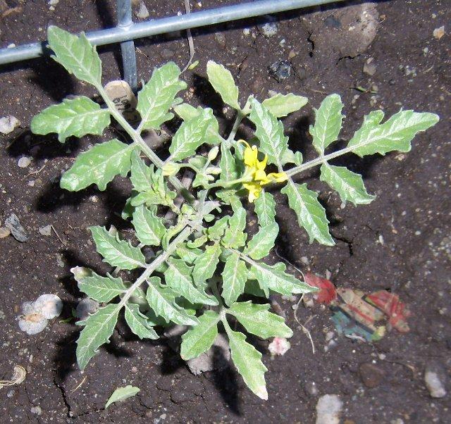 Solanum peruvianum, LYC 2669