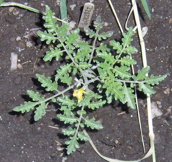 Solanum peruvianum, LYC 2822