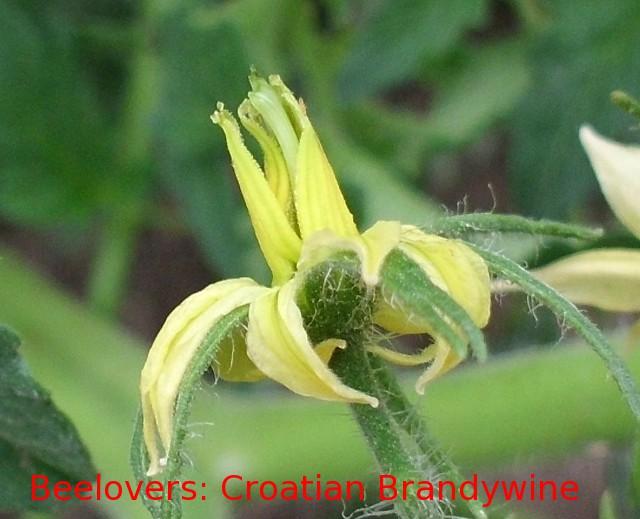 Beelover's Tomato: Croatian Brandywine