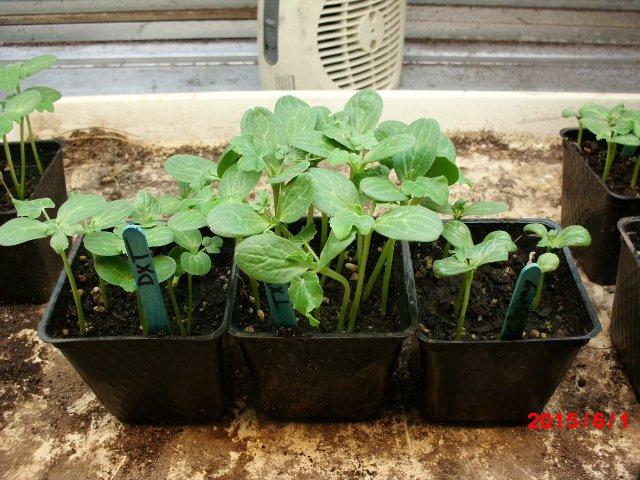 seedless watermelon project.