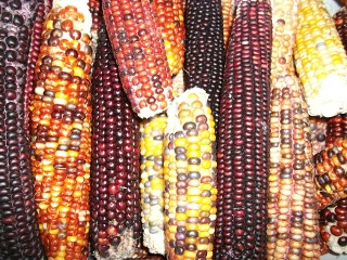 An adaptivar landrace of Indian corn